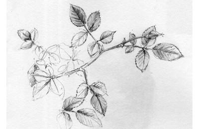 Rose Bud Study