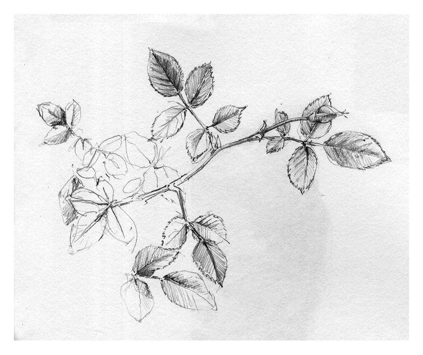 Rose-Study-850